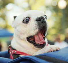 OMG! How Cute ! Follow for more, Tag Someone Who Would Love This French PitBull ! Tag: #dog ,#dogslover , #funnydog #dog #lovedogs #doggy #doglife #mydog #dogs #ilovemydog #doglover #dogoftheday #frenchbulldog #bulldog #nationaldogday #dogsitting #instadogs #doglove #happydog #lovemydog #dogslife #englishbulldog #husky #huskylove #doggie #cutedog #dogtraining #dogpark #doglovers #doggies #dogmodel #doglife #instadogs #pitbull ------------  If you love this and want image: 1000x768px, please…