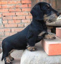 Wire hair dachshund cutie
