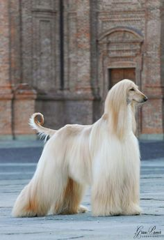 Not only does Dr. Risa Reynolds have an Afghan Hound in A HERO TO LOVE, but I had one growing up and she looked just like this.