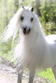 Beautiful white horse with fluffy long white mane, stunning!