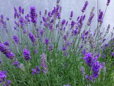 TheChildrensGarden of Lavender