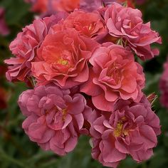 Cinco de Mayo™ Floribunda Rose  growing up to 4' in height, sweet apple aroma.flowerful Floribunda. smoked lavender and rusty red-orange. perennials. rounded bushy