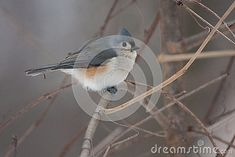 Tufted Titmouse on a Natural Perch in a tree in the winter