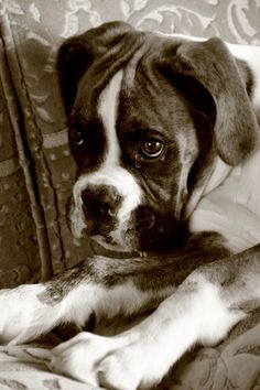 Boxer with the most beautiful eyes in the world.
