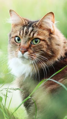 - My list of the most beautiful animals Cute Cats And Kittens, Big Cats, I Love Cats, Crazy Cats, Animals And Pets, Cute Animals, Chat Maine Coon, Beautiful Cats, Pet Birds