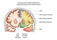 Brain Blood Supply Diagram Pathophysiology | Neuro4Students