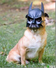 @Susan Melgren - It's a pug in a batman mask.