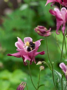 Akeleie, Aquilegia vulgaris Blomstrer i juni og juli (og mai hos meg) Pink Garden, Insects, Planters, Seasons, Flowers, Animals, Bees, Gardens, Animales