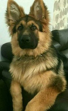 I cannot even deal with how cute this German Shepherd is. Adorable!