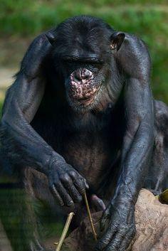 Chimpanzee - Zoo Negara, Kuala Lumpur, Malaysia