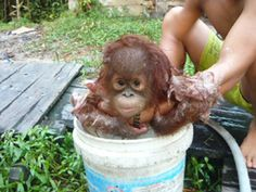 I would love to give a baby orangutan a bath someday...what a precious face!