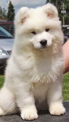 5 Most affectionate dog breeds - The American Eskimo Dog breed is affectionate, . - 5 Most affectionate dog breeds – The American Eskimo Dog breed is affectionate, loyal, protective - Animals And Pets, Baby Animals, Funny Animals, Cute Animals, Animals Planet, Samoyed Dogs, Pet Dogs, Dog Cat, Doggies