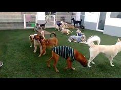 Nuestros Alumnos de Inteligencia Canina plantel Alberca Olímpica jugando.