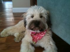 Lucy our Soft Coated Wheaten Terrier : )