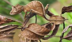 This Satanic Leaf-tailed Gecko is barely visible against the leaves in the Andasibe-Mantadia National Park, Madagascar.    These amazing animals are true masters at blending effortlessly into their environment as a means of survival in the natural world.