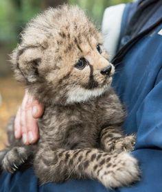 Netherlands Burgers Zoo, 6 Cheetahs born Sept 2016.