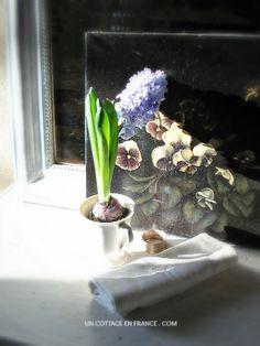 La jacinthe bleue du cottage