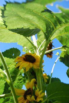 """""""3 Jardins au Québec"""" - Un petit blog bien intéressant sur les variétés qui poussent ici, ainsi que de bons trucs de jardinage."""