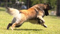 Belgian Shepherd Dog Running Wallpaper