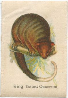 Ring Tailed Opossum. From New York Public Library Digital Collections.