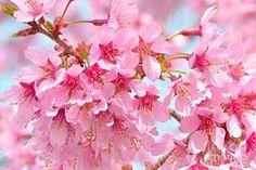 Photograph - Cherry Blossom Pastel II by Regina Geoghan