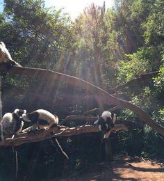 狐猴公園照片 Lemur, Panda Bear, Trip Advisor, Tattoo, Park, Animals, Animales, Animaux, Panda