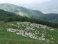 Un gregge di pecore delle Valli Biellesi da cui si ottiene parte della lana di Gomitolo Rosa