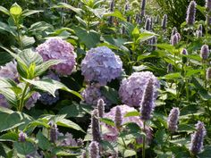 Agastache with hydragena Finding Peace, Lilies, Cottage Style, Soul Food, Gardens, Flowers, Plants, Outdoor, Chalet Style