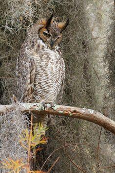 Great Horned Owl, (Bubo virginianus)