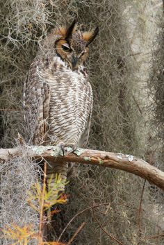 Great Horned Owl, (Bubo virginianus)