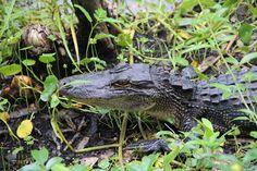 Alligator up close Magnolia Gardens, Reptiles, Wildlife, Poses, Plants, Animals, Animales, Animaux, Planters