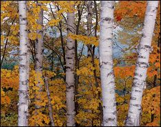 A small grove of birch trees in the front yard. Paper birch trees and maples in Fall, near Half Moon Lake in the Hiawatha National Forest south of Munising, Upper Michigan Hiawatha National Forest, Birch Tree Art, Birch Forest, Birch Bark, Aspen Trees, Tree Bark, Fall Photos, Autumn Trees, Painting Inspiration