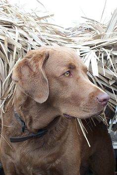 Chesapeake Bay Retriever...beautiful.. looks like my Chance did back when he was younger.