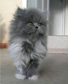 Gato lindo e peludinhos # fluffy Kittens Kittens And Puppies, Cute Cats And Kittens, Cool Cats, Kittens Cutest, Pretty Cats, Beautiful Cats, Animals Beautiful, White Fluffy Kittens, Persian Kittens