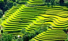 When the northwestern mountainous region enters the autumn, tourists have a chance to marvel at the most beautiful terraced fields in Vietnam with shiny yellows such as terrace fields in Mu Cang Chai, Sapa and Hoang Su Phi,. Vietnam Travel Guide, Vietnam Tours, Hanoi Vietnam, Con Dao, Ha Long, Hoi An, Ho Chi Minh Ville, Delta Du Mekong, Bai Tu Long Bay