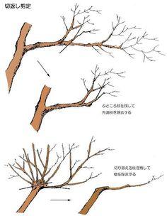 剪定-庭木・広葉樹・針葉樹の剪定方法や知識-便利屋らいふぱる