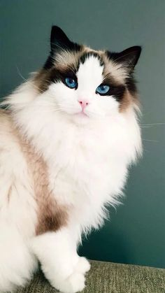 Best Photo fluffy cat breeds Suggestions Kitties with significant head might we. - Best Photo fluffy cat breeds Suggestions Kitties with significant head might well often be probabl - Cute Cat Breeds, Beautiful Cat Breeds, Beautiful Cats, Animals Beautiful, Fluffy Cat Breeds, All Cat Breeds, Cute Cats And Kittens, Baby Cats, Cool Cats