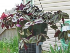 Full size picture of Wandering Jew, Inch Plant (Tradescantia zebrina) Rose Cultivation, Wandering Jew, Window Boxes, Green Life, Herb Garden, Landscape Architecture, Potted Plants, Garden Landscaping, House Plants