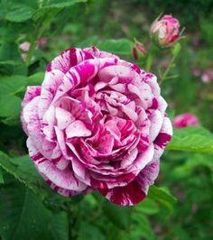 Hybrid Perpetual Rose: Rosa 'Commandant Beaurepaire' AKA 'Panachée d'Angers' (France, 1864)