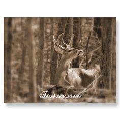 TN Deer Postcard
