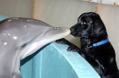 Lab & a dolphin share a smooch