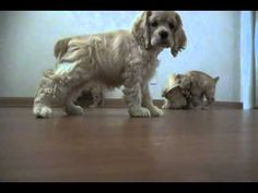 Cocker Spaniel Puppies check out camera
