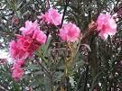 Laurel de jardín arbusto floral