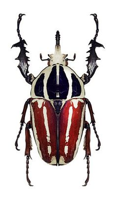 Goliath Beetle (Mecynorrhina ugandensis)
