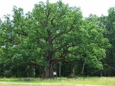 Trunks, Plants, Europe, Old Oak Tree, Natural Wonders, Drift Wood, Tree Trunks, Plant, Planets