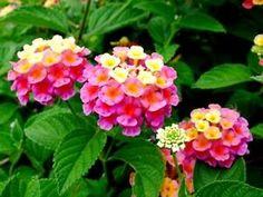 Lantana Camara, Plants, Anna, Google Search, Flowers, Plant, Planets