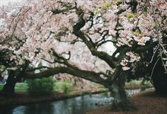 I want a cherry blossom tree in my future yard.. If that's even possible^^