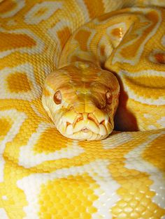 Albino Burmese, my favourite snake of all time. Les Reptiles, Cute Reptiles, Reptiles And Amphibians, Beaux Serpents, Beautiful Creatures, Animals Beautiful, Serpent Animal, Animals And Pets, Cute Animals