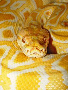 Burmese python 4 by Tambako the Jaguar on Flickr.