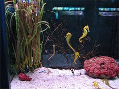 Seahorses are one of the most interesting animals you can keep in a home aquarium . The way they look and swim is fascinating and, whet. Seahorse Aquarium, Seahorse Tank, Seahorse Tattoo, Marine Aquarium, Seahorse Costume, Saltwater Tank, Saltwater Aquarium, Aquarium Fish Tank, Fish Tanks